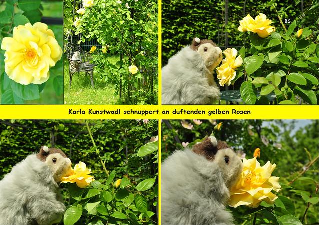 Mai 2019 --- Wild- und Zierrosen ... Karla Kunstwadl liebt Rosenduft ... Fotos: Brigitte Stolle