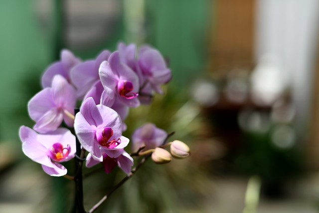 Painted Orchids I