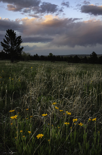 boulder bouldercounty boulderopenspace colorado dyc frontrange landscape openspace asters clouds evening eveninglight flowers magichour meadow spring sunset wildflowers yellowflower