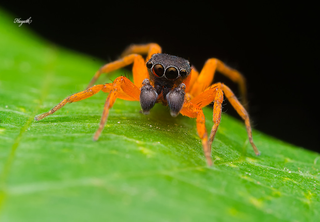 Cyrba sp - a Stunning little jumping spider