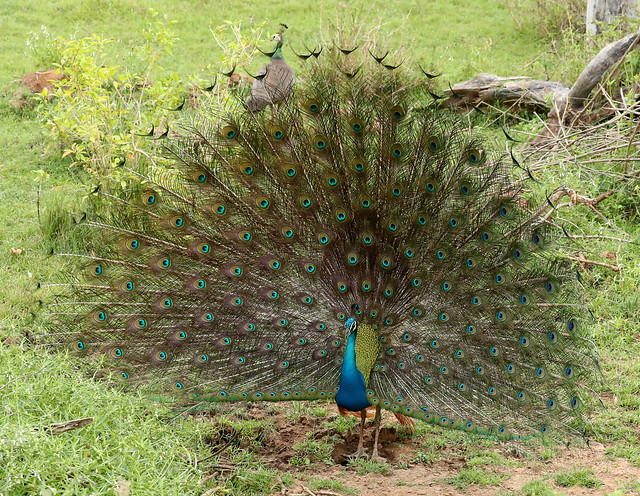 Indian Peafowl ♂ Pavo cristatus
