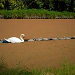 Swan line at Preston