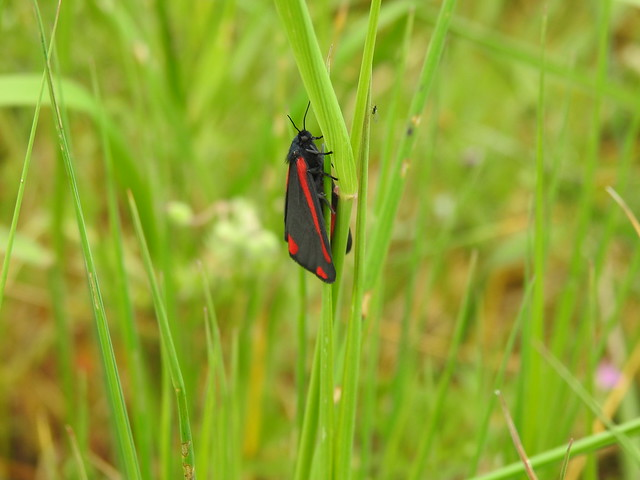 Cinnabar Moth DSCN8995