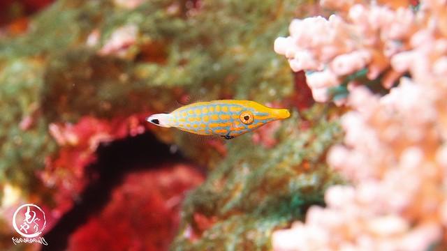 御神崎でこの子が見れるなんて感動♪♪ サンゴ元気なとこにいるテングカワハギ幼魚ちゃん♪