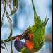 birdsaspoetry posted a photo:Rainbow Lorikeet, Trichoglossus haematodus+===============+For no other reason, it seems, than because it could, this bold bird threw itself forward off the branch. Touched its toes and then sat upright, and repeated the performance about 6 times. Satisfied with its athletic ability, it flew off to the next exercise point.
