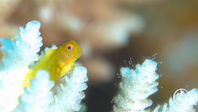 インドカエルウオ幼魚ちゃん♪
