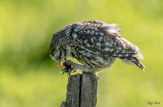 DSC4276  Little Owl...