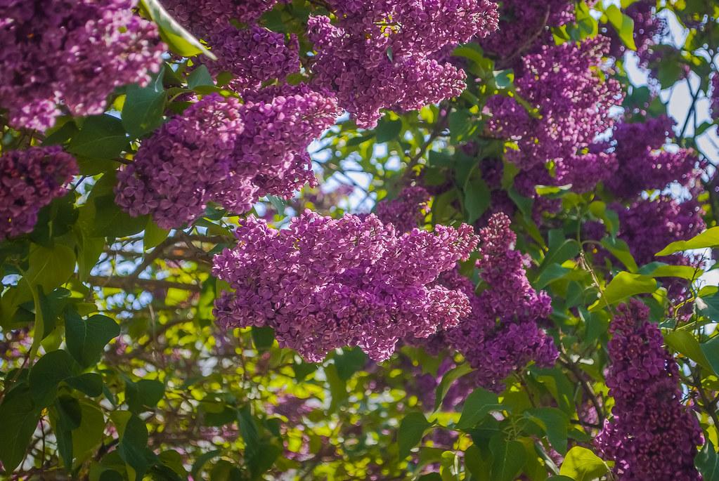 Beautiful purple flowers !  14:42:49 DSC_3181