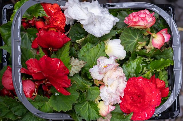 Basket of Begonias