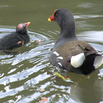 Mother and baby moorhen on gthe canal at Preston