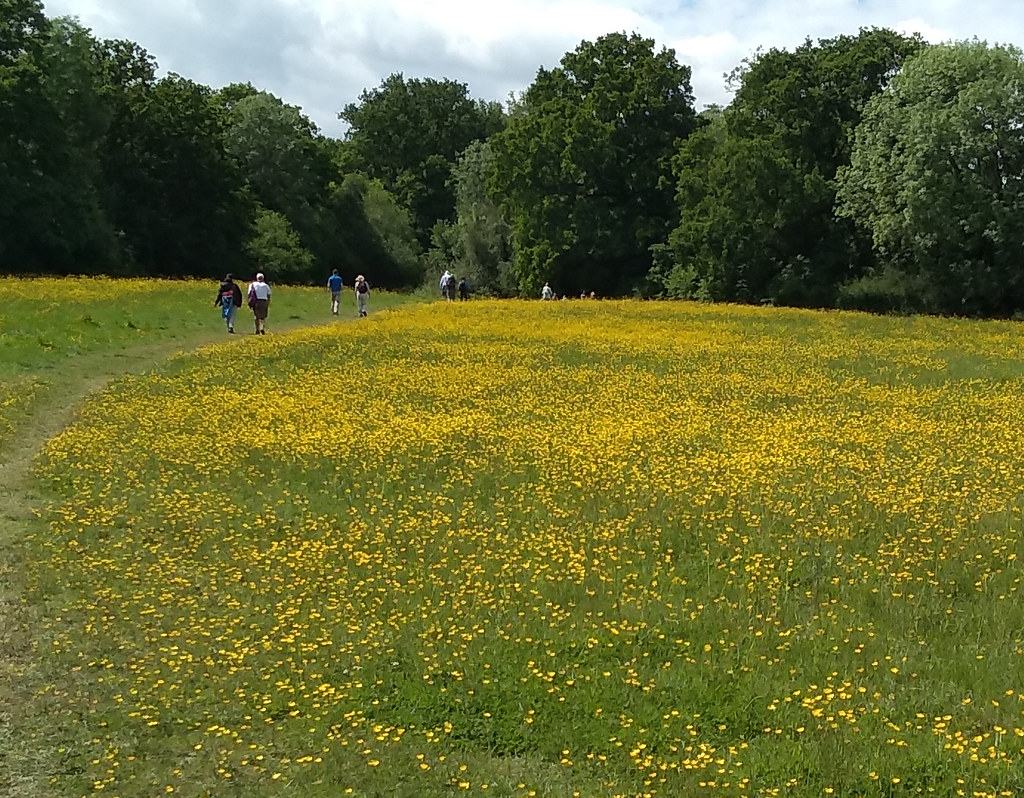 Effingham Common Buttercups galore
