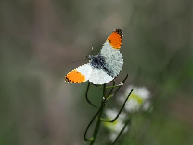 Male Orange Tip