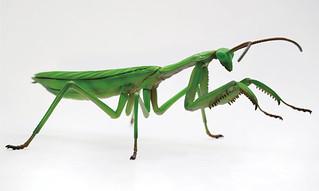 FUJIMI 《自由研究系列 》「生物篇 枯葉大刀螳」組裝模型作品!自由研究シリーズ No.23 いきもの編 オオカマキリ プラモデル