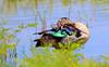 knob-billed duck by tdwrsa-2