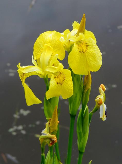 gele lis (Iris pseudacorus )