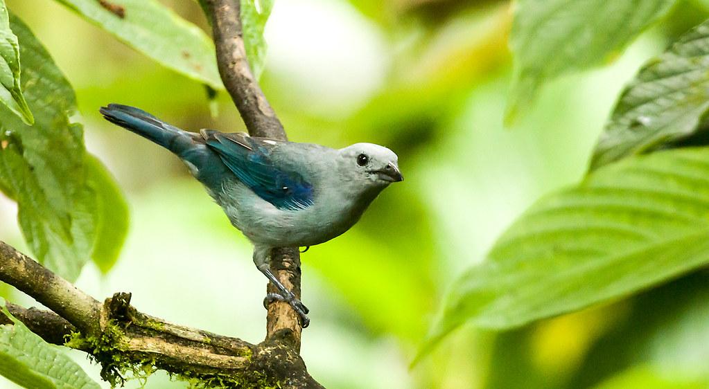 0P7A1147  Blue-gray Tanager, Ecuador