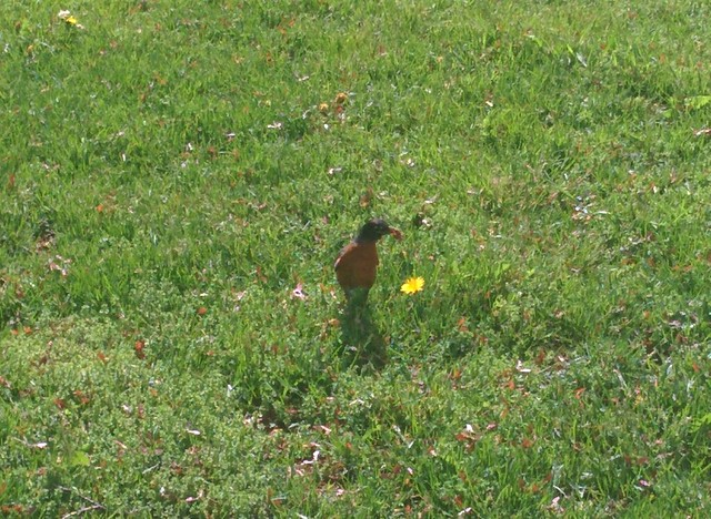Robin with worm on the lawn (2) #toronto #spadinaavenue #camh #birds #robin #worm #green #grass #latergram
