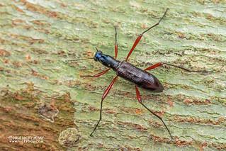 Darkling beetle (Strongylium tricondyloides) - DSC_5029