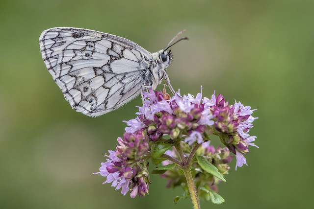 *marbled white on oregano*