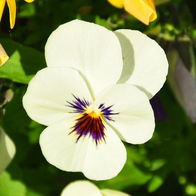 Mai 2019 ... Stiefmütterchen (Viola) ... Wildform: Viola tricolor ... Fotos: Brigitte Stolle