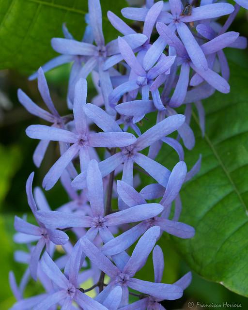 Queen's Wreath - Petrea volubilis