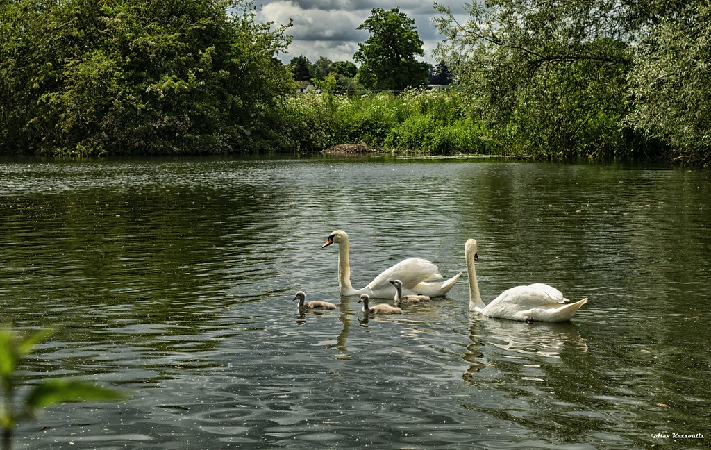Swans on Thames