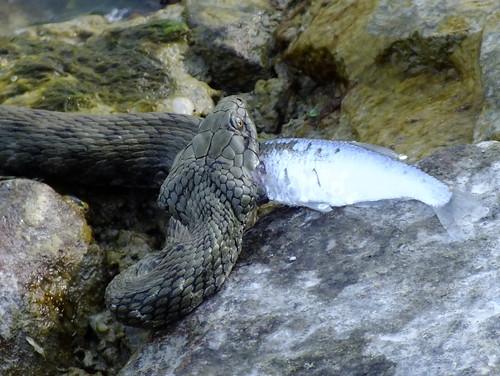 Vízisikló -  Grass snake