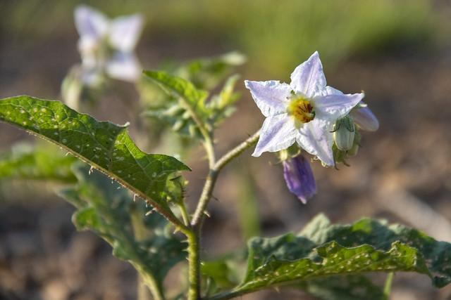 Solanum carolinense, Buzzards Roost, Whitfield County, Georgia
