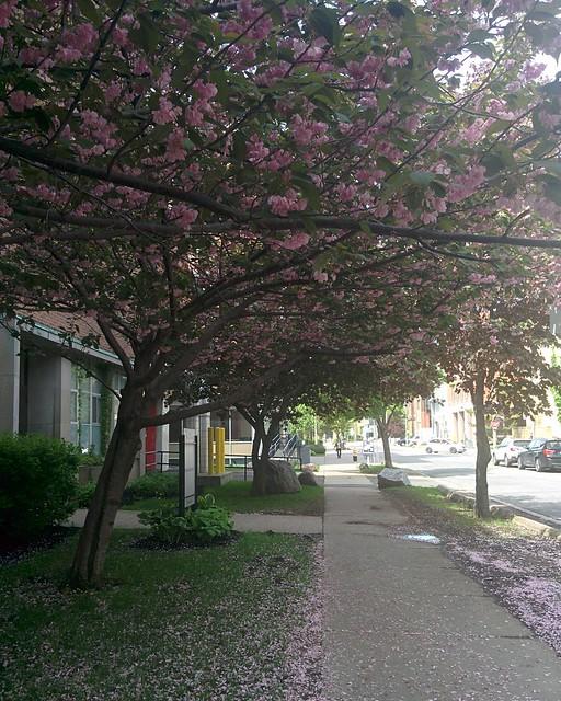 Double cherry sakura of Russell Street in an arch #toronto #universityoftoronto #russellstreet #cherryblossom #sakura #doublecherry #pink #arch #latergram