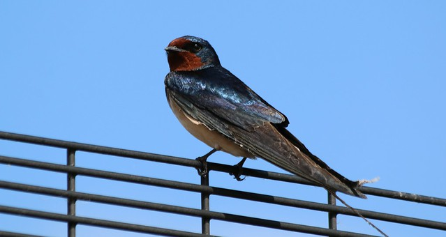 22nd May 2019. Barn Swallow near the Manchester Ship Canal at ITV, Trafford Park, Greater Manchester