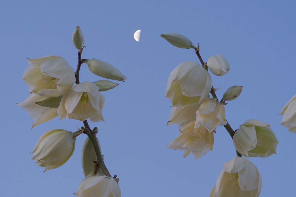 Flowers of a soaptree yucca against a backdrop of the moon and morning sky at dawn along the Latigo Trail in McDowell Sonoran Preserve