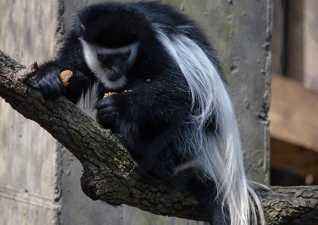 Colobus Monkey With Lunch