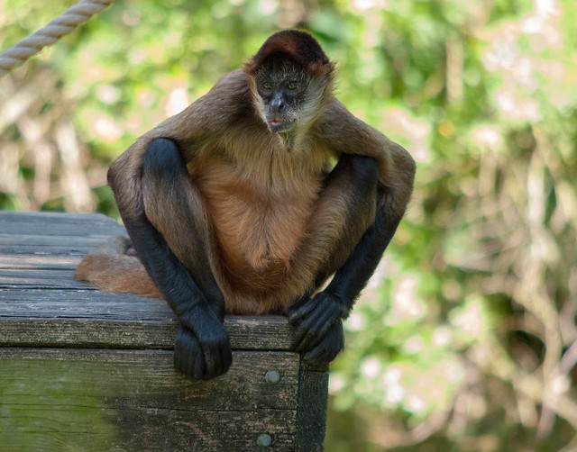 Perched Spider Monkey