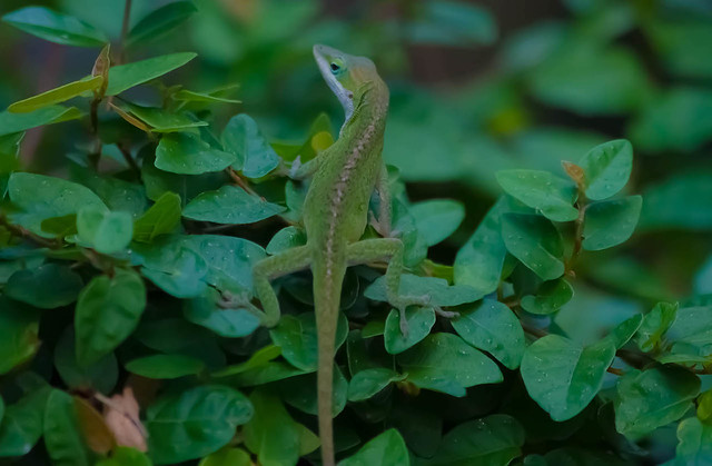 Anole Wandering the Zoo Grounds