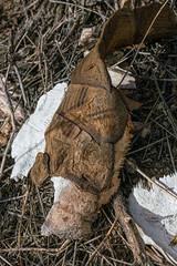 1905 Tortoise Shell 03