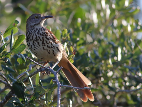 Brown Thrasher 01-20190527