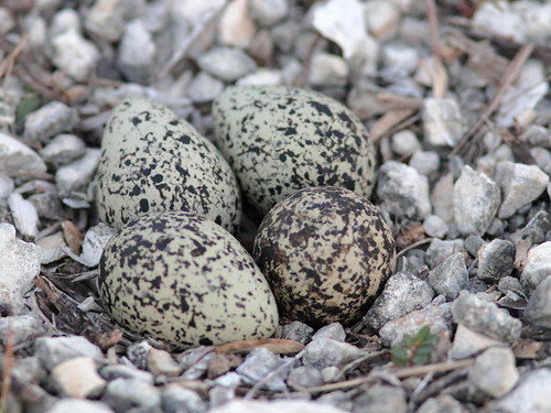Killdeer eggs 4th 20190527