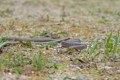 Aesculapian Snake - Zamenis longissimus - Nemours, France
