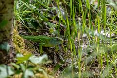 Western Green Lizard - Lacerta bilinear - Nemours, France