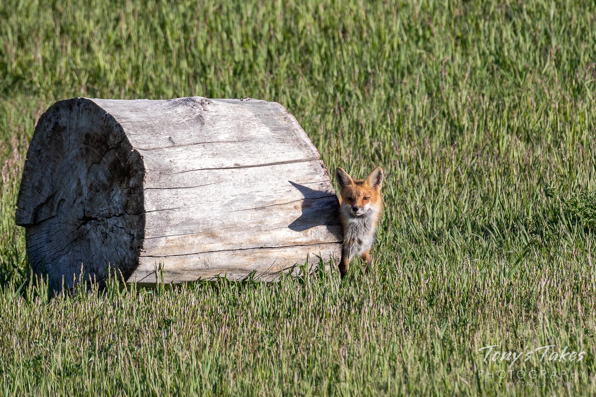 A red fox vixen casts a shadow across a log. (© Tony's Takes)