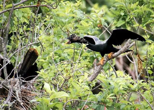 Anhinga Protecting the Nest
