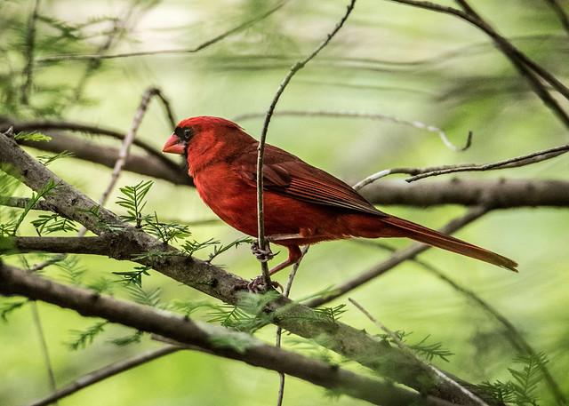 Cypress Cardinal