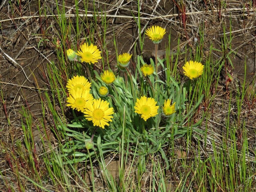 Dwarf yellow fleabane