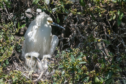 newark california unitedstatesofamerica birds nature northerncalifornia bayarea egret lakeshorepark