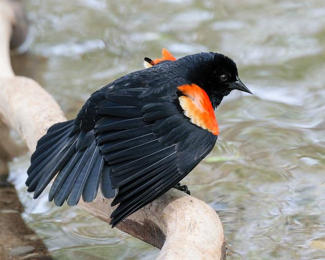 Red-winged Blackbird - 1757