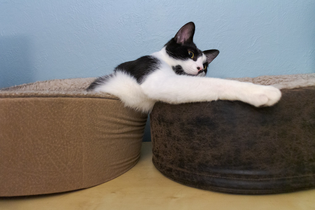 Our cat Boo sits in one cat bed while stretching his arm across another