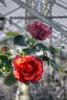 4499_500_501_TwoRedRoses_PM4tonemapped by misterken
