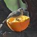 Orangeful of Baby Verdin