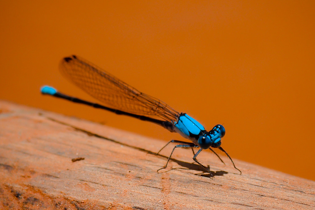 Blue Damselfly (Familiar Bluet)