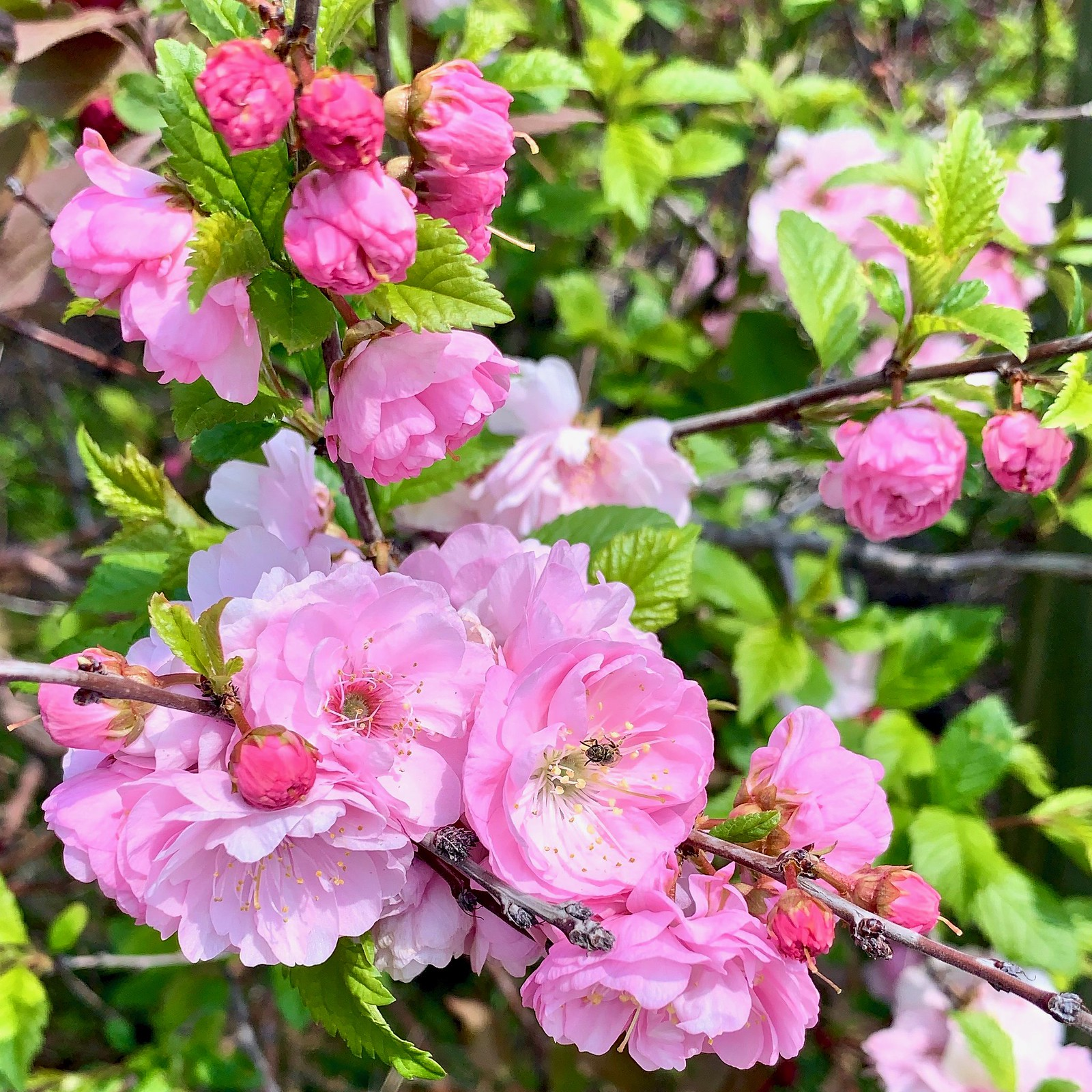Spring blossoms, Calgary, Alberta, Canada